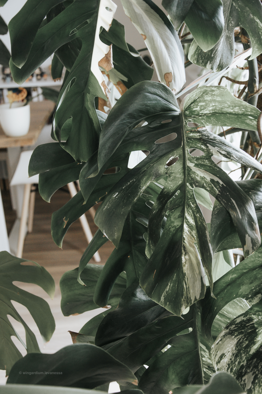 Blätter der Monstera Deliciosa Variegata